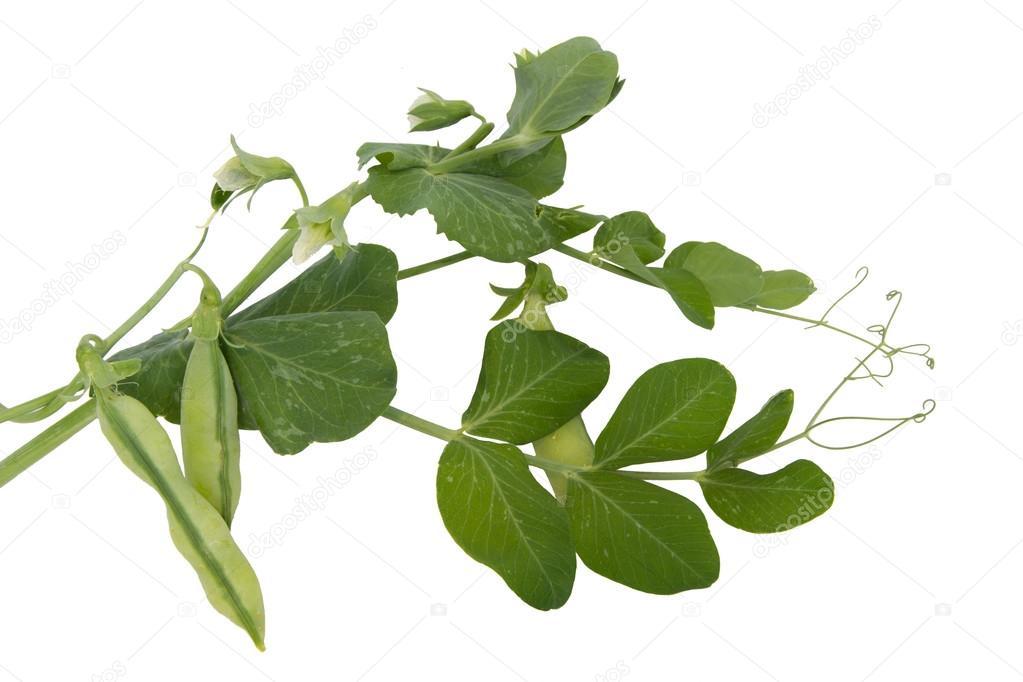 petits pois frais feuilles et fleurs photographie paolopc 50789231. Black Bedroom Furniture Sets. Home Design Ideas