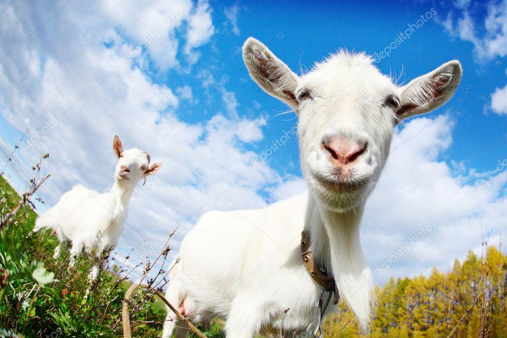 goats #hashtag