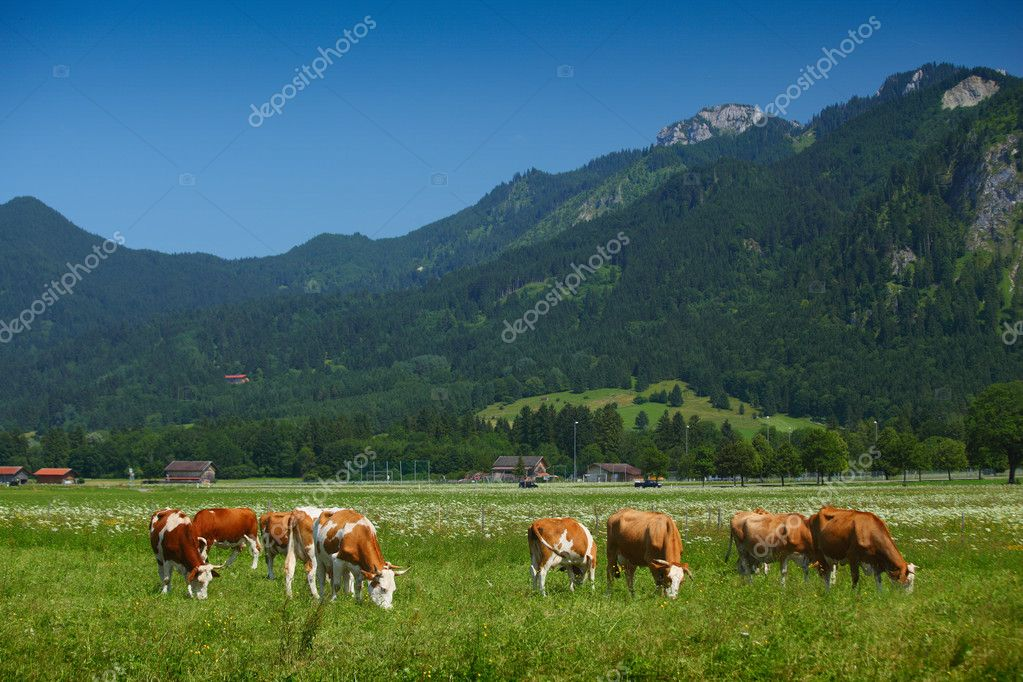 Cows grazing on a green Alpine meadow