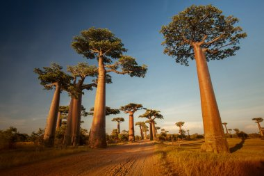 Baobabs