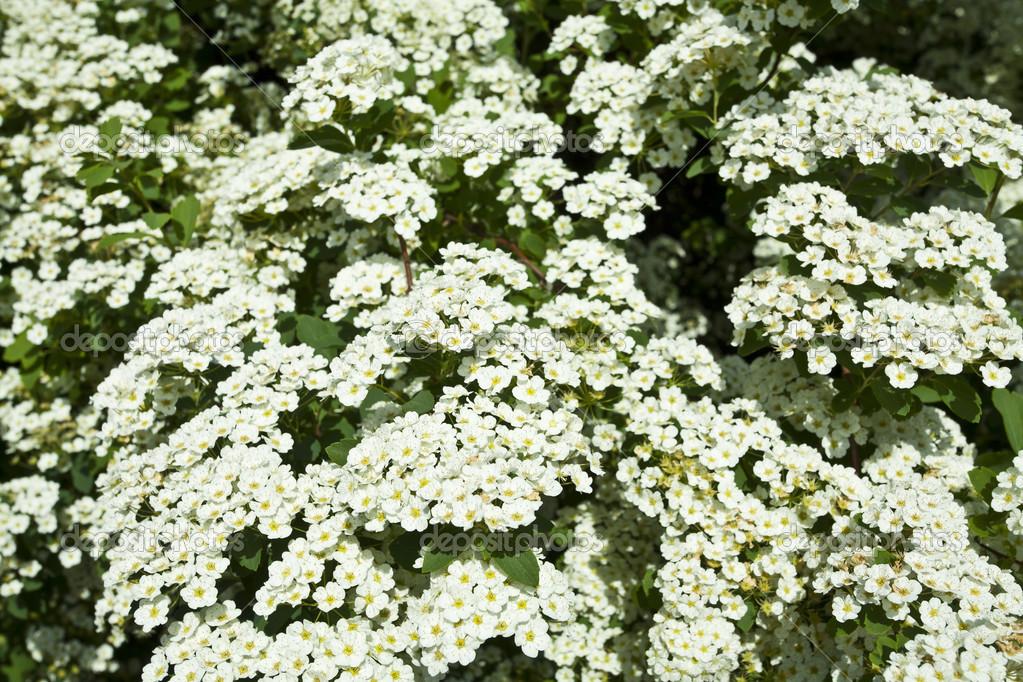 The bush white flowers stock photo valzan 42131573 the bush white flowers in the spring photo by valzan mightylinksfo