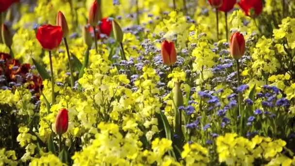červené tulipány a žluté květy