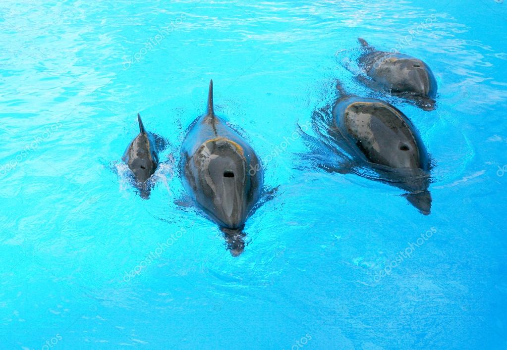 Family of dolphins, mother and father with his young dolphin swi