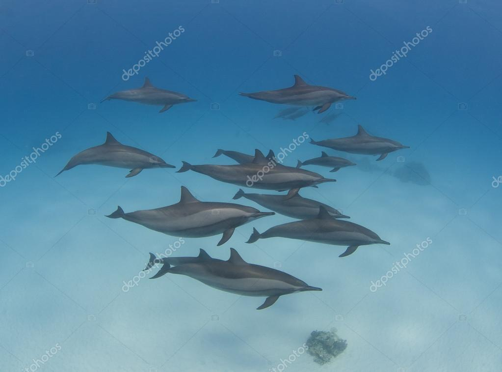 Pod of wild spinner dolphins