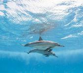 Pair of spinner dolphins underwater