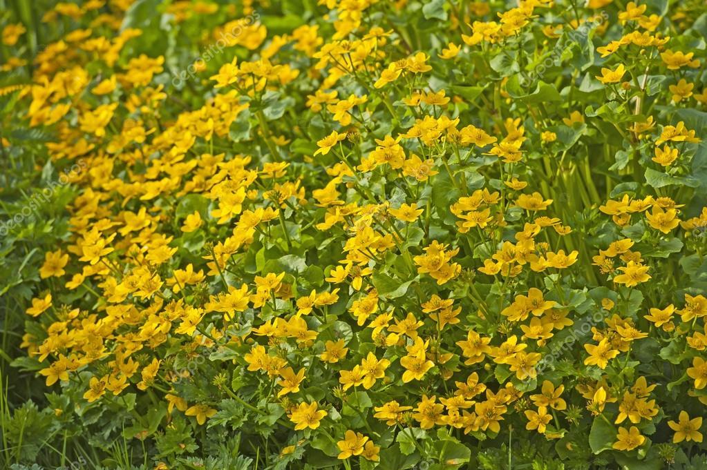 Растение с жёлтыми цветами