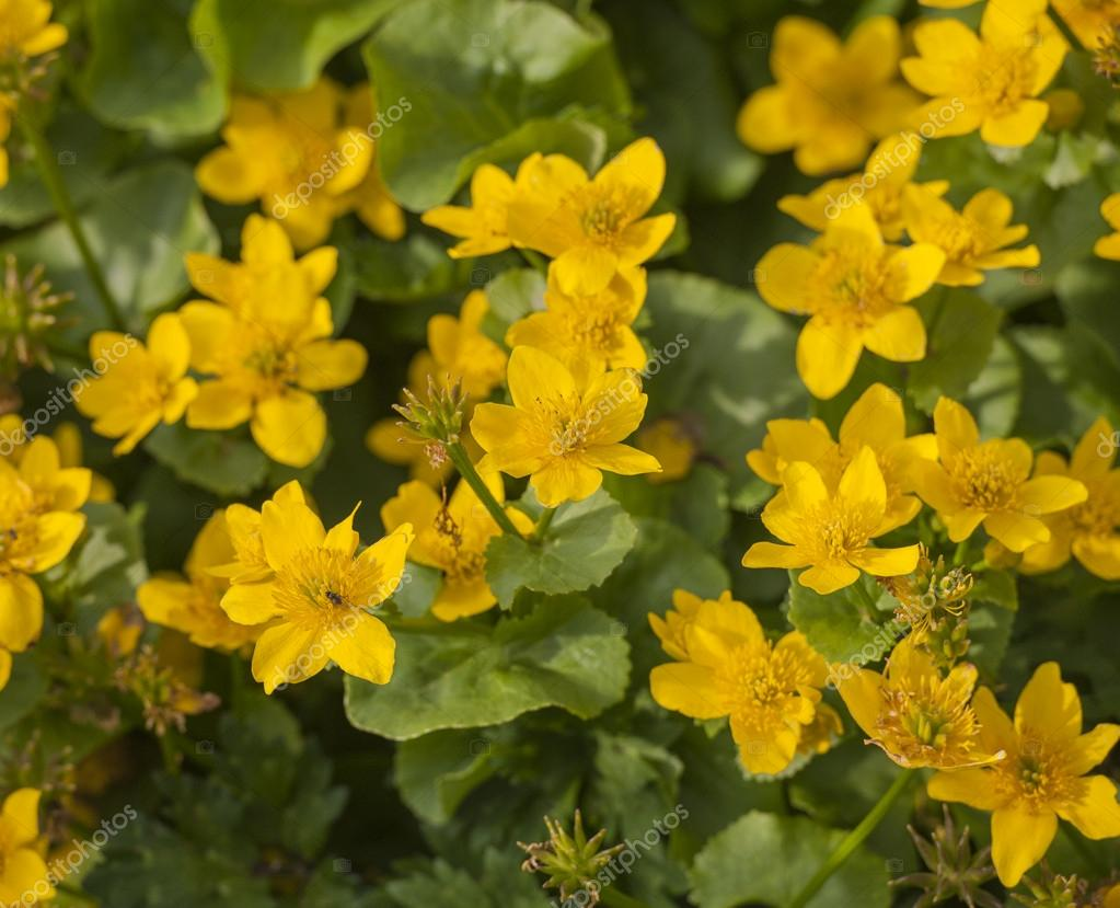 Marsh marigold pianta con fiori gialli — Foto Stock © paulvinten #47286709