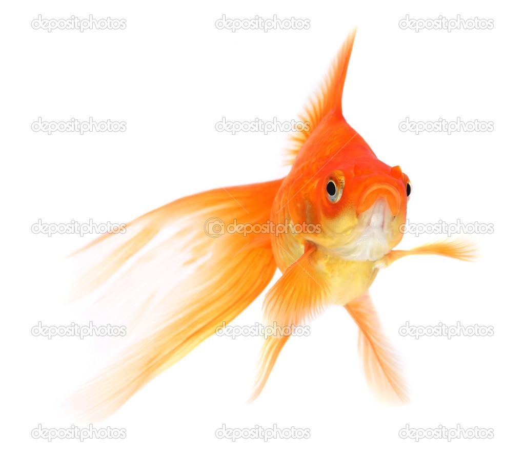 Poisson rouge sur fond blanc photographie mirekkijewski for Prix poisson rouge