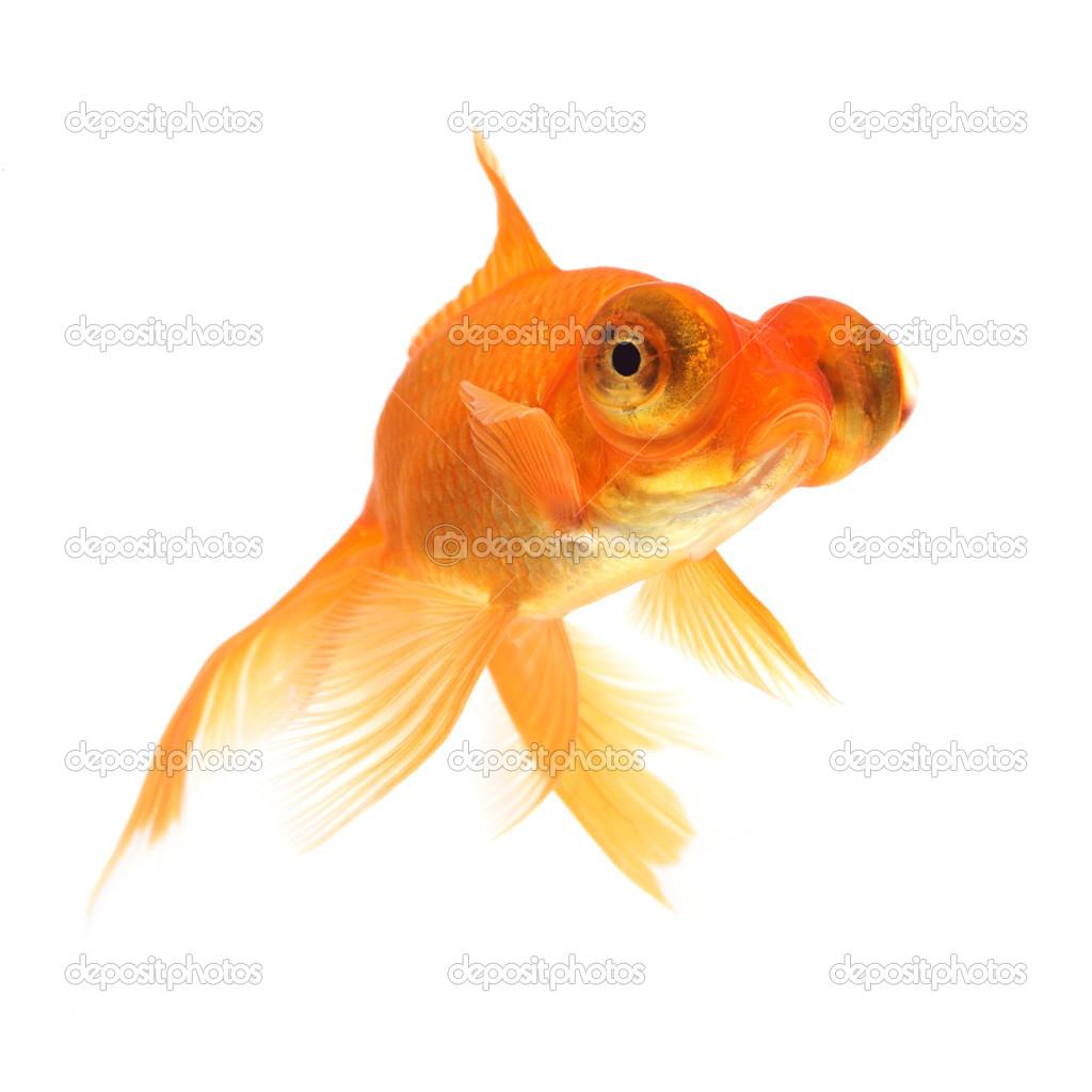 Pesce rosso su sfondo bianco foto stock mirekkijewski for Pesci rossi prezzo