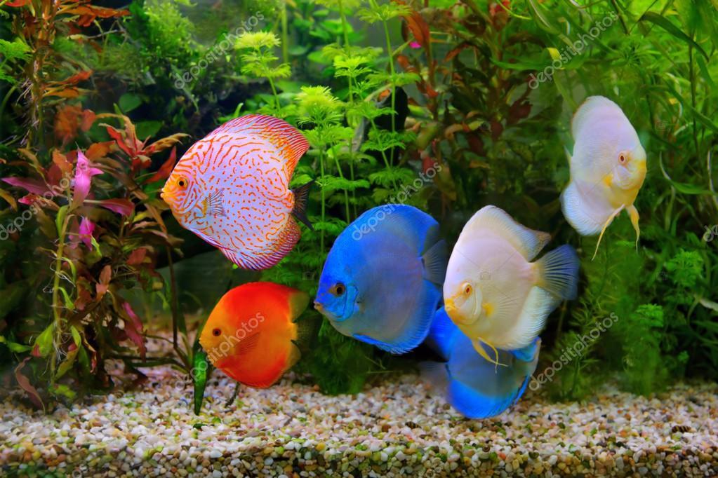 Discus Symphysodon Multi Colored Cichlid In The Aquarium The