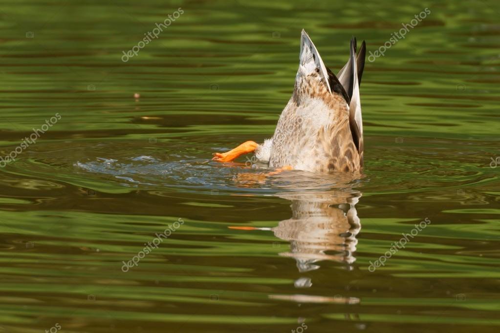 depositphotos_44209079-stock-photo-mallard-duck-anas-platyrhynchos-female