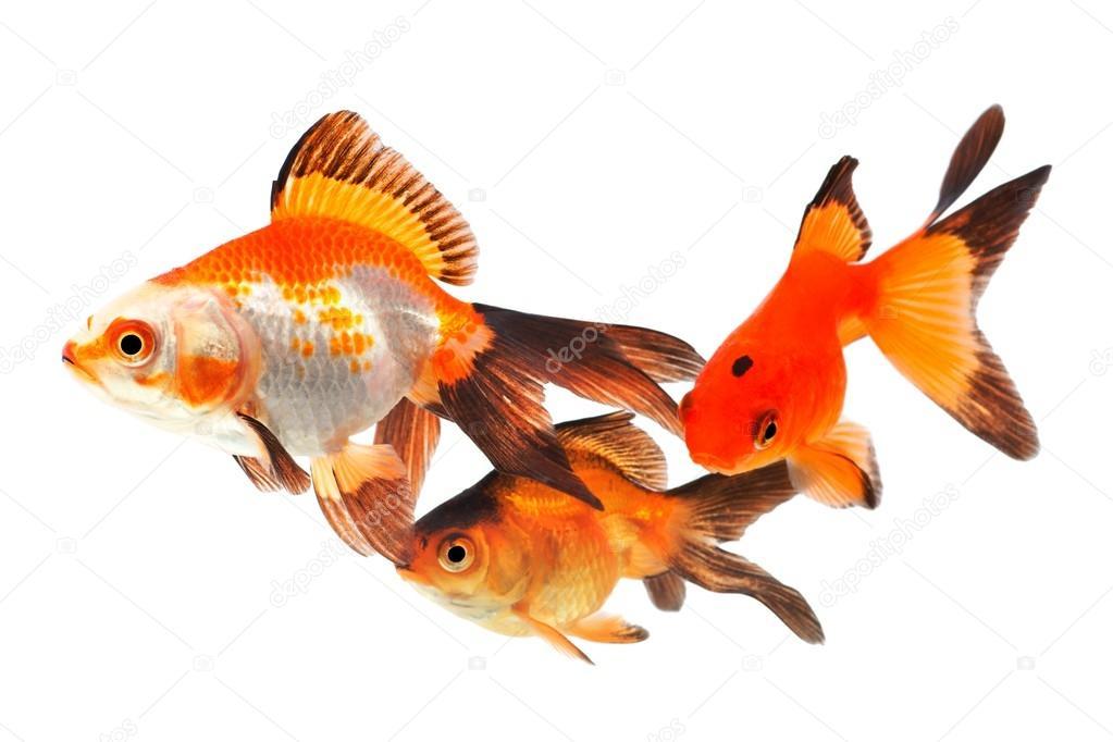 pesci rossi gruppo di pesci su sfondo bianco foto stock