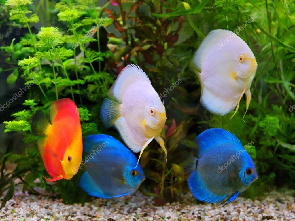 Freshwater fish amazon - Discus Symphysodon Multi Colored Cichlids In The Aquarium The Freshwater Fish Native To The Amazon River Basin Stock Image
