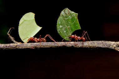 Leaf cutter ants, carrying leaf, black background.