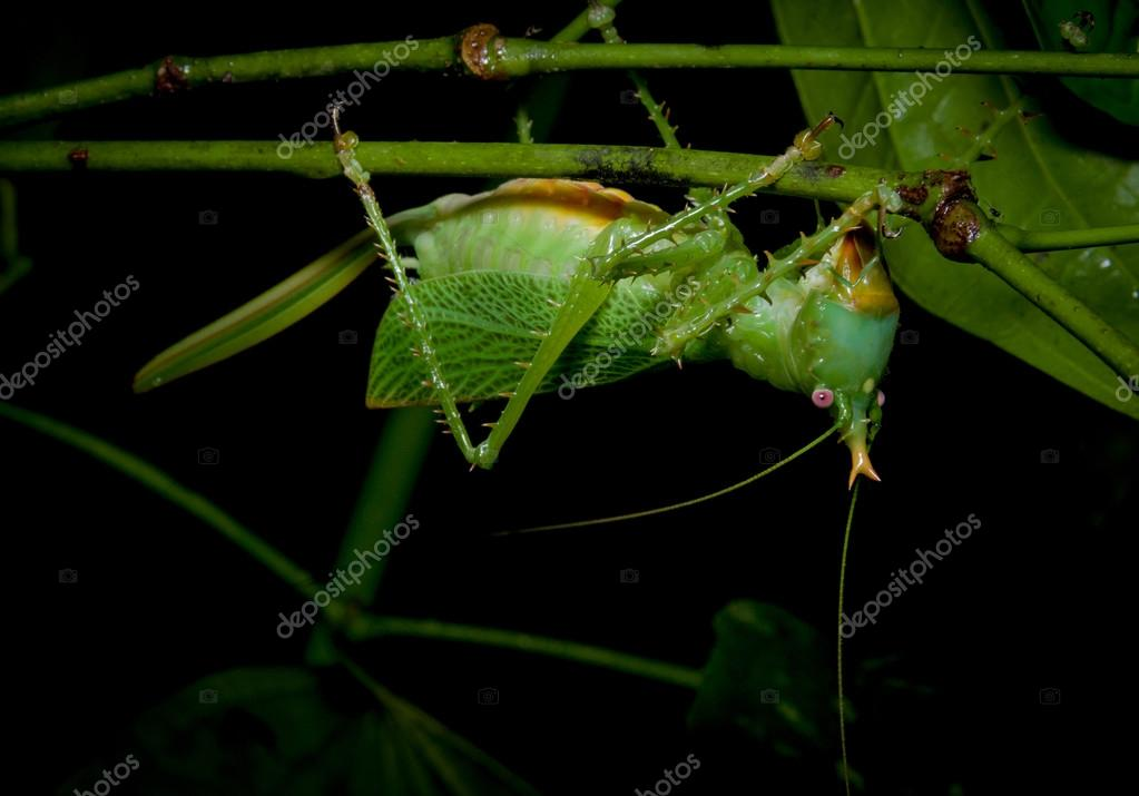 Green giant grasshopper at night in the amazon