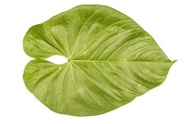 Jungle leaf white background