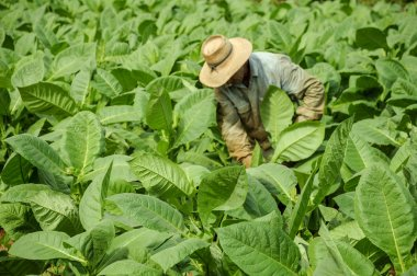 Tobacco fields in cuba