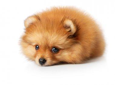 Sad spitz puppy