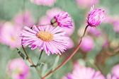 květy heřmánku