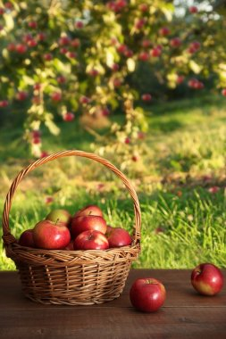 Apples in basket on table in orchard