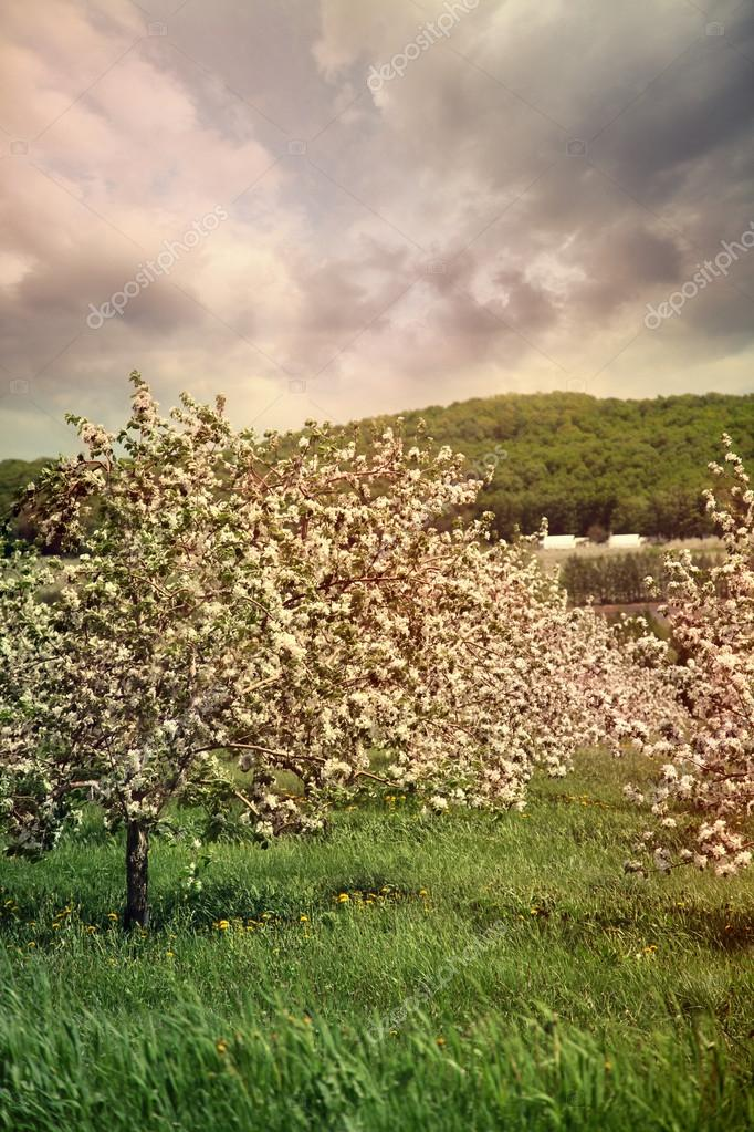 Blossoming apple trees in spring