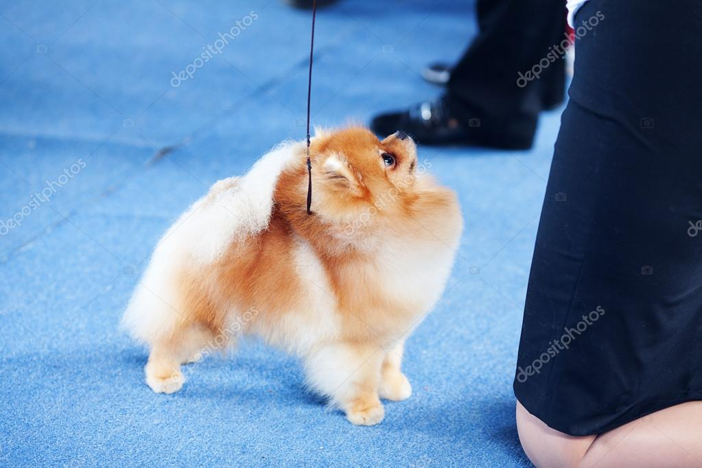 Pomeranian spitz on the blue floor and human legs