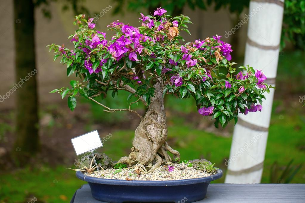 Beautiful Bonsai Bougainvillea In A Botanical Garden Stock Photo C Evgeniyauvarova 23070244