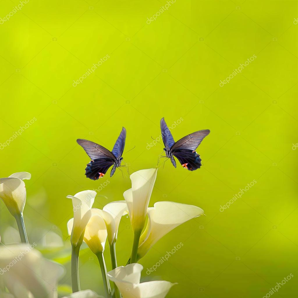 White Calla Lilies and butterfly