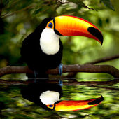 Photo Toco Toucan