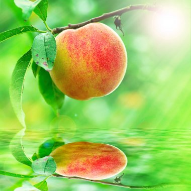 Peach growing rapprochement