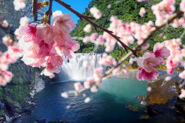 Sakura flowers among water fall