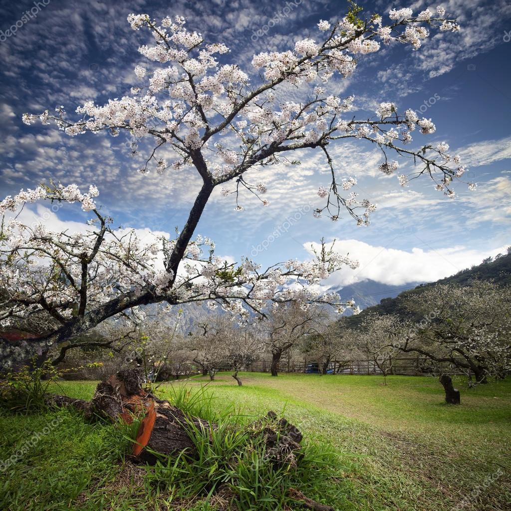 Beautiful spring blossoming plum