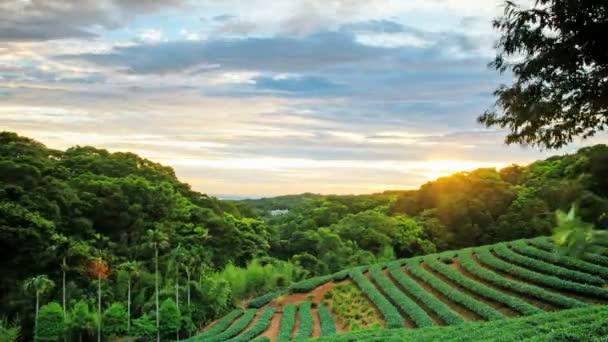 Time lapse of tea garden