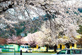 stagione di Sakura in Giappone