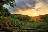 Fotografia tramonto paesaggio piantagione di tè