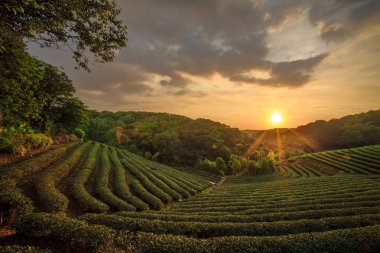 Tea plantation valley at dramatic pink sunset sky in Taiwan