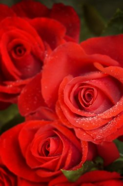 Roses in macro(special soft fx,focus point on thr nearest flowe