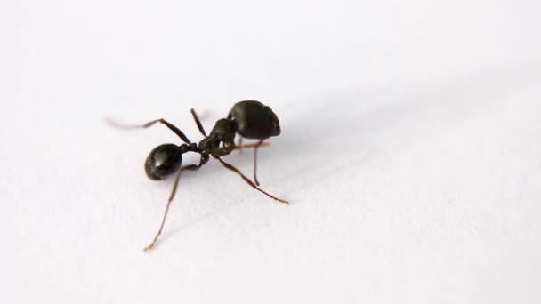 fekete-ant