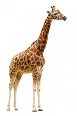 Giraffe isolated on white background.