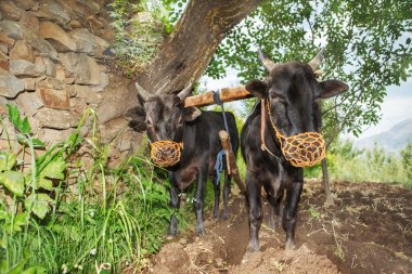 Two oxen ploughing