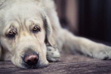 Sad eyes of big white dog