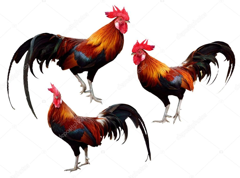 Set of Chicken isolated on white background