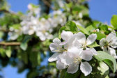 Fotografie Apple blossom tree
