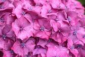 Purple hydrangea blossoms in the rain