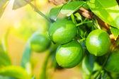 Nahaufnahme von grüner Zitrone