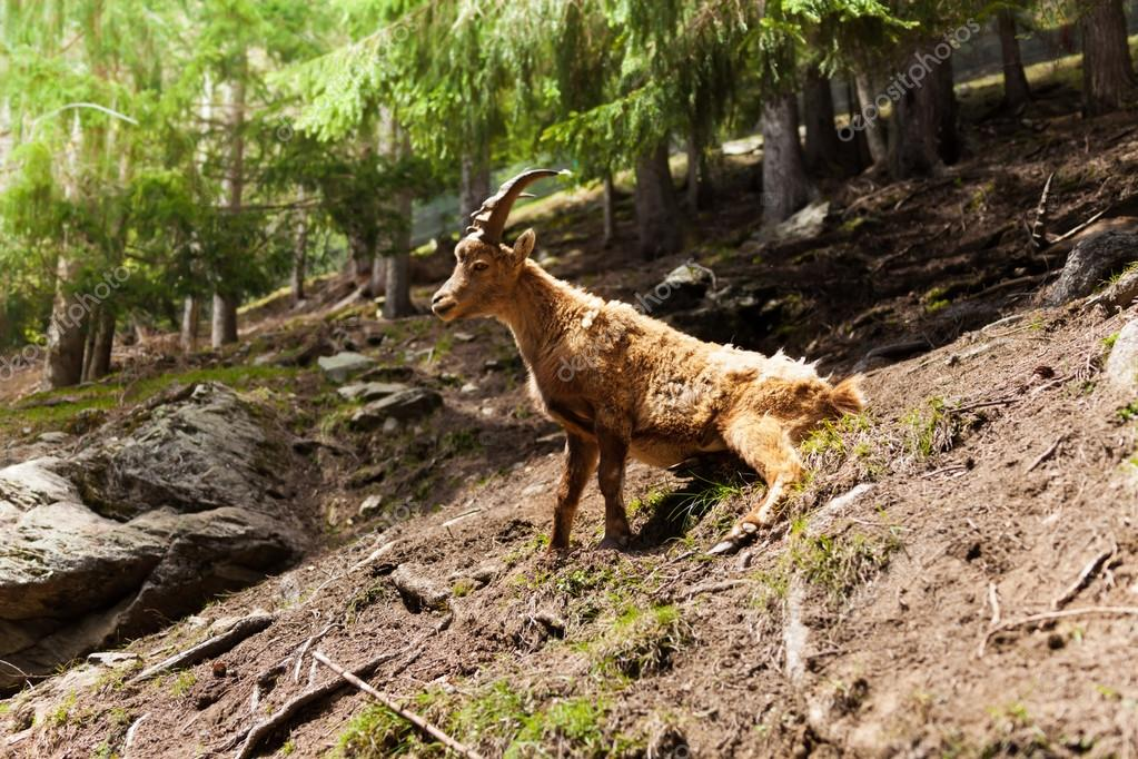 Ibex in the forest