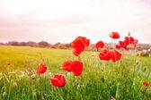 Fotografie Red poppy flowers