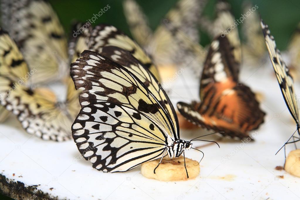 Schmetterling Futterung Stockfoto C Morrismann 30853233