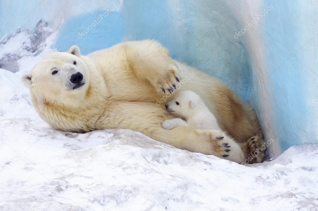 Family of white polar bear with little pouch