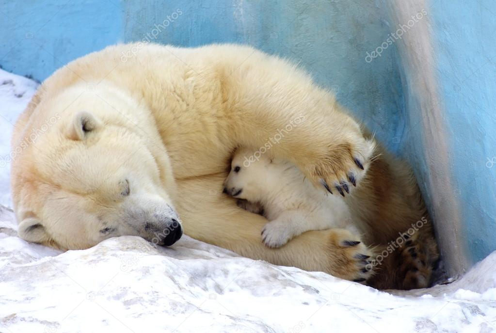 White Polar Bear with little bear lies on an ice floe